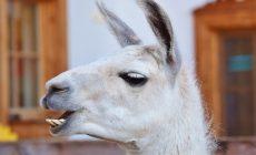 Ламы могут помочь своими антителами в борьбе с коронавирусом