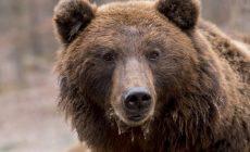Российские ученые нашли в пасти сибирского медведя мощнейший антибиотик