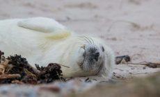 В России могут исчезнуть гренландские тюлени