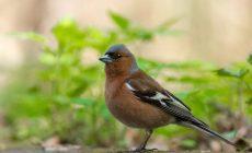 Птицам имплантировали чужие воспоминания